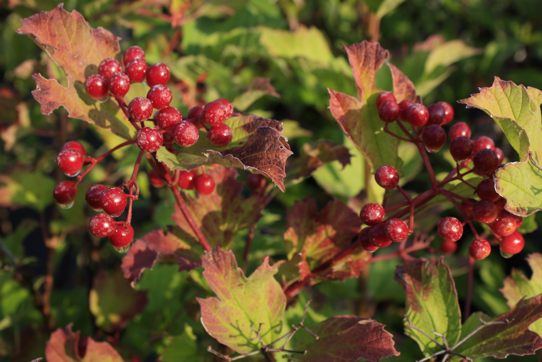 Highbush Cranberry Leaf Ontario Native Plant Nursery