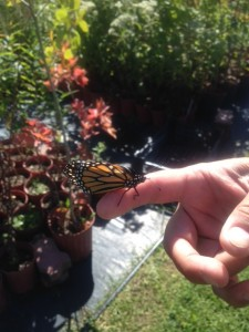 Monarch on my finger