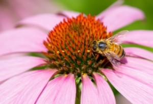 bee on pink flower sq wm