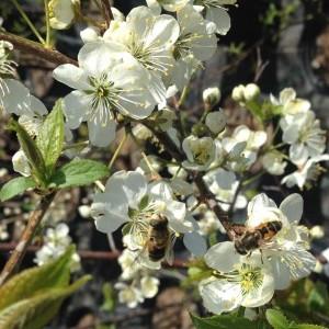 Bees in Canada Plum