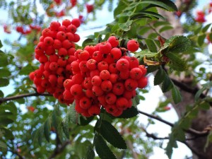 American Mountain Ash Berries