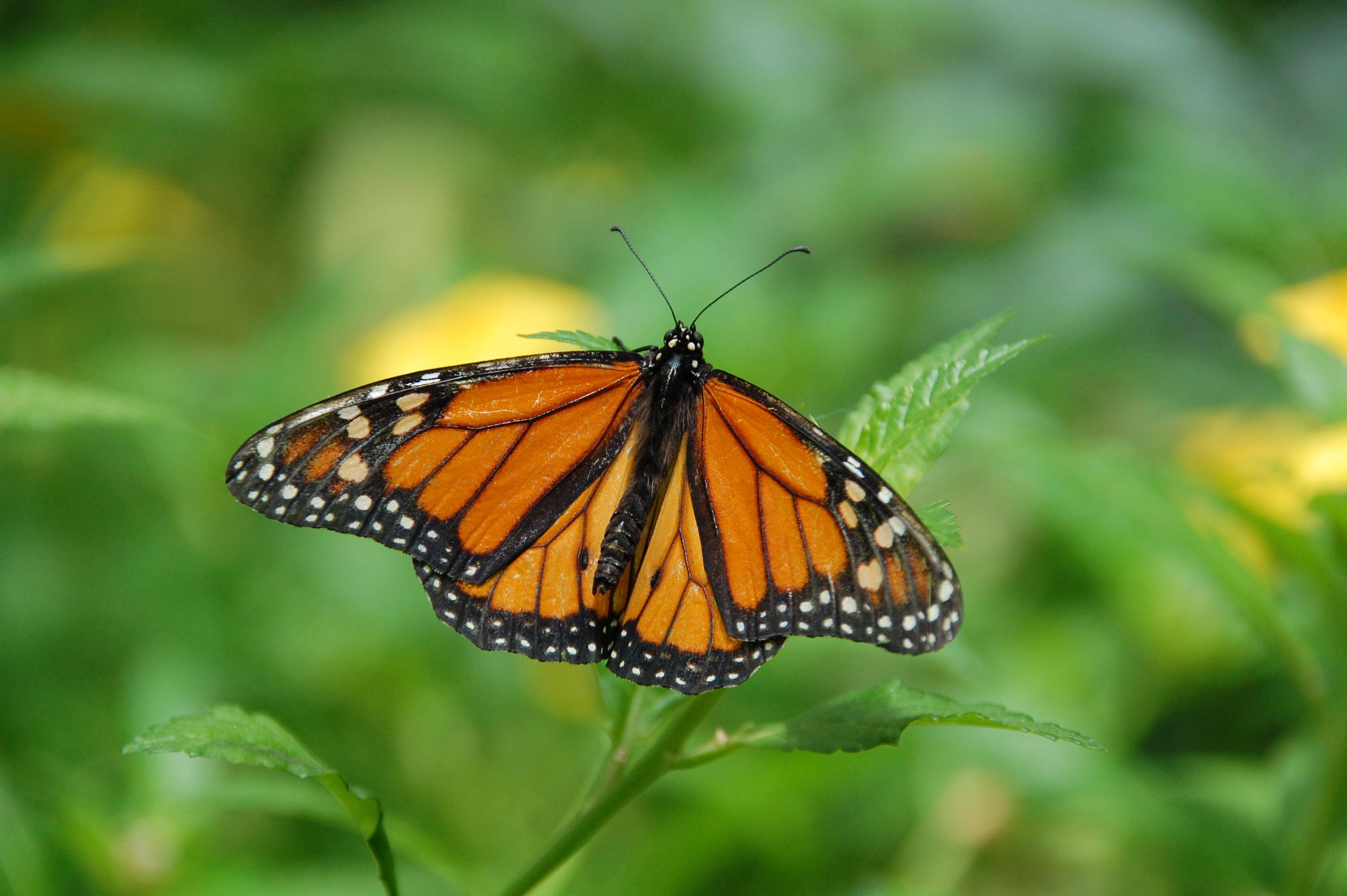 Monarchs Need Milkweed
