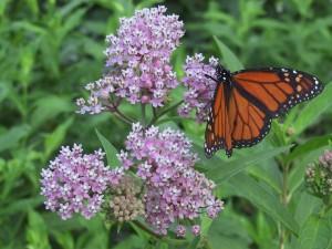 monarch-711501