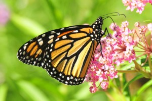 monarch-butterfly-957784