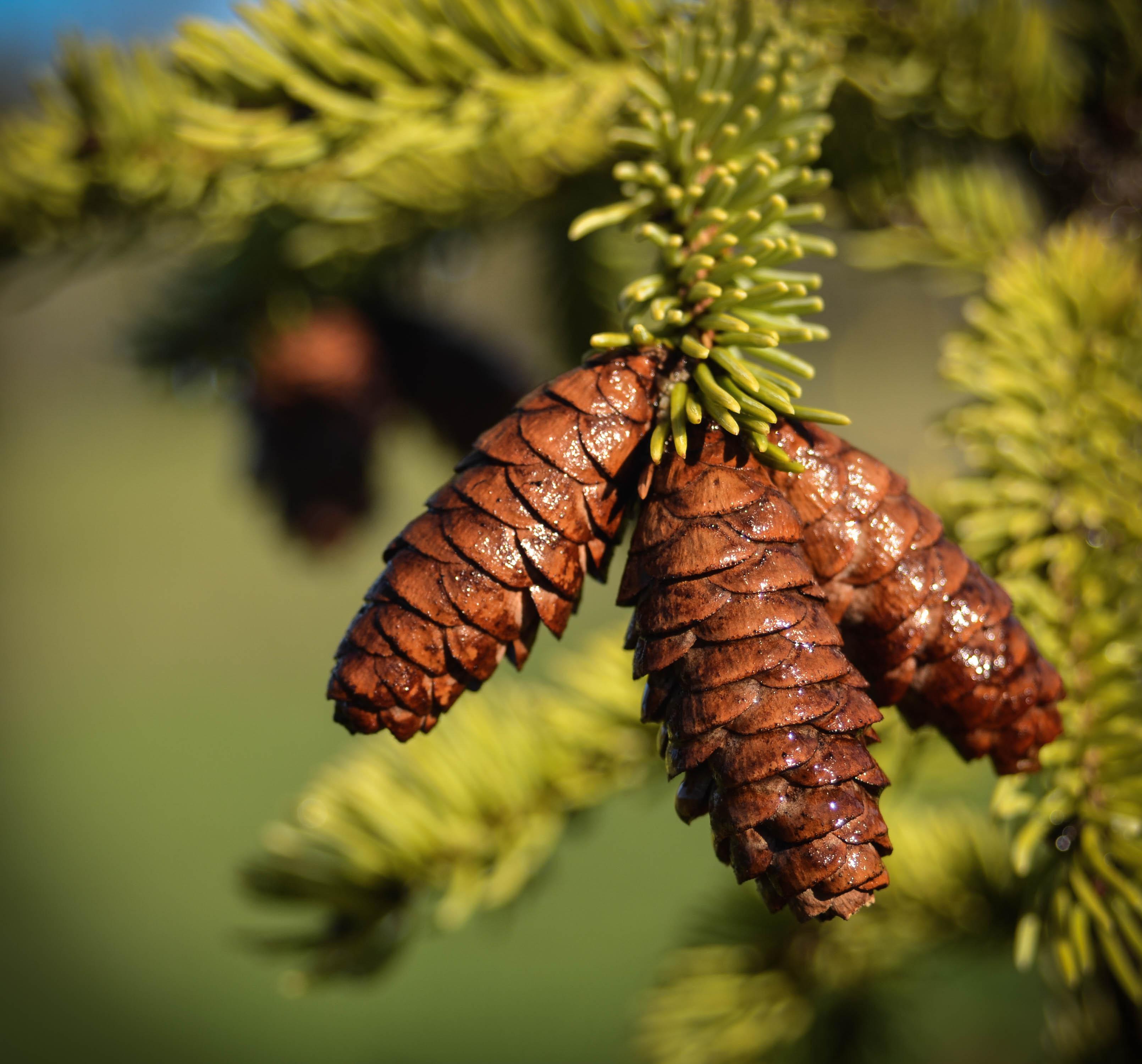 Native Ontario Plants: White Spruce - Ontario Native Plant Nursery