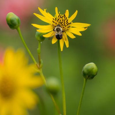 Five Tall Native Perennials