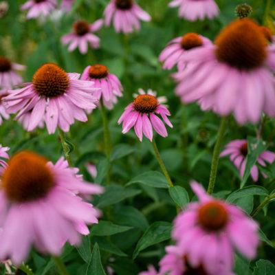 Five Native Perennials For Average Soil