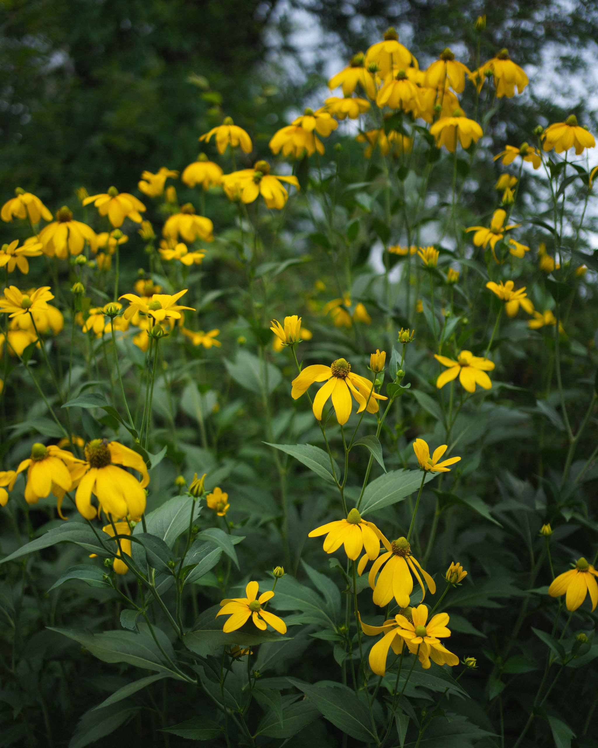 Five Native Perennials For Moist/Wet Conditions