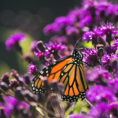 Native Plants For A Butterfly Garden